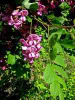 picture of Robinia hispida var. hispida, image of Robinia hispida var. hispida, photograph of Robinia hispida
