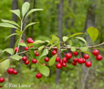 picture of Ilex cuthbertii, image of Ilex cuthbertii, photograph of -