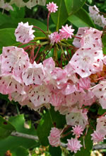 picture of Kalmia latifolia, image of Kalmia latifolia, photograph of Kalmia latifolia