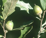 picture of Quercus minima, image of Quercus minima, photograph of -