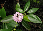 picture of Rhododendron minus, image of Rhododendron minus, photograph of Rhododendron minus