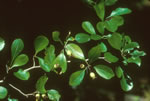 picture of Crataegus berberifolia var. berberifolia, image of Crataegus berberifolia, photograph of -
