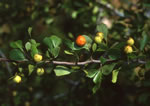 picture of Crataegus lassa var. integra, image of Crataegus integra, photograph of Crataegus flava