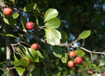 picture of Crataegus lancei, image of Crataegus flava, photograph of Crataegus flava