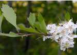 picture of Crataegus spathulata, image of Crataegus spathulata, photograph of Crataegus spathulata