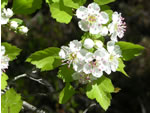 picture of Crataegus ignava, image of -, photograph of -