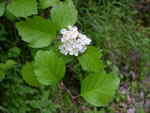 picture of Crataegus calpodendron, image of Crataegus calpodendron, photograph of Crataegus calpodendron