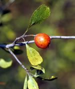 picture of Crataegus lassa var. colonica, image of -, photograph of -