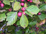 picture of Crataegus craytonii, image of -, photograph of -