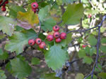 picture of Crataegus intricata var. neobushii, image of Crataegus intricata, photograph of -