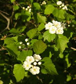 picture of Crataegus iracunda, image of Crataegus iracunda, photograph of Crataegus flabellata