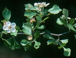 picture of Crataegus quaesita var. floridana, image of -, photograph of -