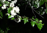 picture of Crataegus phaenopyrum, image of Crataegus phaenopyrum, photograph of Crataegus phaenopyrum