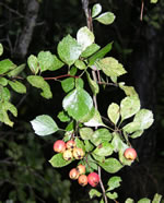 picture of Crataegus visenda, image of Crataegus flava, photograph of Crataegus flava