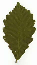 picture of Quercus montana, image of Quercus prinus, photograph of Quercus prinus