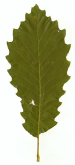 picture of Quercus muehlenbergii, image of Quercus muehlenbergii, photograph of Quercus muehlenbergii