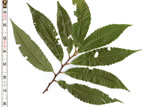 picture of -, image of Castanea crenata, photograph of -