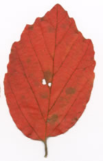 picture of Fothergilla gardenii, image of Fothergilla gardenii, photograph of Fothergilla gardenii