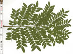 picture of Gleditsia triacanthos, image of Gleditsia triacanthos, photograph of Gleditsia triacanthos