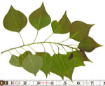 picture of Triadica sebifera, image of Triadica sebifera, photograph of Sapium sebiferum
