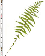 picture of Parathelypteris noveboracensis, image of Thelypteris noveboracensis, photograph of Thelypteris noveboracensis