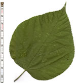 picture of Morus rubra, image of Morus rubra var. rubra, photograph of Morus rubra