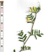 picture of Vicia grandiflora, image of Vicia grandiflora, photograph of Vicia grandiflora var. kitaibeliana
