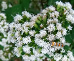 Common White Snakeroot