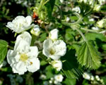 picture of Crataegus mollis var. mollis, image of Crataegus mollis, photograph of -