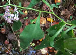picture of Symphyotrichum urophyllum, image of Symphyotrichum urophyllum, photograph of Aster sagittifolius