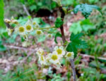 picture of Ribes glandulosum, image of Ribes glandulosum, photograph of Ribes glandulosum