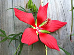 picture of Hibiscus coccineus, image of Hibiscus coccineus, photograph of -