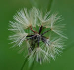 picture of Hieracium gronovii, image of Hieracium gronovii, photograph of Hieracium gronovii
