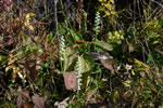 picture of Spiranthes cernua, image of Spiranthes cernua, photograph of Spiranthes cernua var. cernua