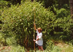 picture of Phytolacca americana, image of Phytolacca americana var. americana, photograph of Phytolacca americana