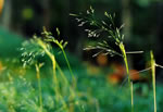 picture of Agrostis perennans, image of Agrostis perennans, photograph of Agrostis perennans