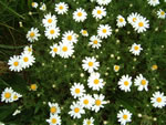 picture of Anthemis arvensis, image of Anthemis arvensis, photograph of Anthemis arvensis