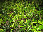 picture of Camellia sinensis, image of Camellia sinensis, photograph of -