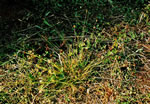 picture of Carex cephalophora, image of Carex cephalophora, photograph of Carex cephalophora