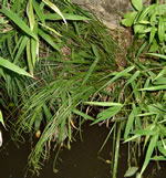 picture of Carex debilis, image of Carex debilis var. debilis, photograph of Carex debilis var. debilis
