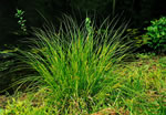 picture of Carex vulpinoidea, image of Carex vulpinoidea var. vulpinoidea, photograph of Carex vulpinoidea