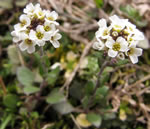 picture of Abdra brachycarpa, image of Draba brachycarpa, photograph of Draba brachycarpa