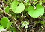 picture of Dichondra carolinensis, image of Dichondra carolinensis, photograph of Dichondra carolinensis