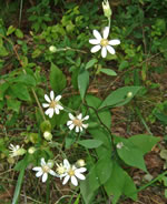 picture of Doellingeria infirma, image of Doellingeria infirma, photograph of Aster infirmus