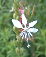 picture of Oenothera gaura, image of Gaura biennis, photograph of Gaura biennis