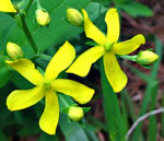 picture of Hypericum nudiflorum, image of Hypericum nudiflorum, photograph of Hypericum nudiflorum