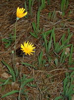 picture of Krigia dandelion, image of Krigia dandelion, photograph of Krigia dandelion