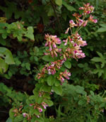 picture of Lespedeza violacea, image of Lespedeza violacea, photograph of Lespedeza intermedia