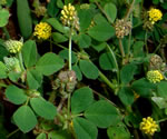 picture of Medicago lupulina, image of Medicago lupulina, photograph of Medicago lupulina