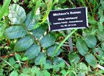 picture of Rhus michauxii, image of Rhus michauxii, photograph of Rhus michauxii